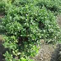 供应丛生木槿独杆木槿木槿苗多分支规格全实地看货起苗