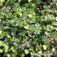 常春藤净化空气产地直销花卉盆栽植物常春藤干净、环保