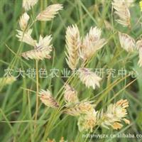 批发销售各种草籽耐热型耐寒型野牛草野牛草种子