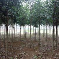 供应高品质1.2米以上高分枝八月桂