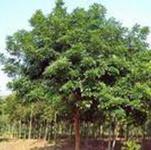 大量供应园林苗木海南红豆