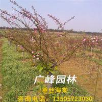 浙江安徽交界处广峰园林苗木公司专供8-10公分垂丝海棠、海棠