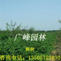 浙江安徽交界处广峰园林苗木公司专供榉树小苗、红榉小苗