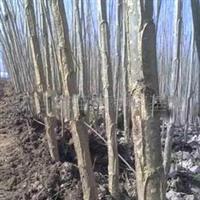 2011年春低价大量出售5公分杨树苗