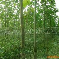 2011年春低价大量出售4公分以上泡桐树苗