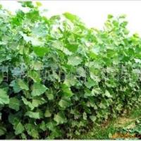 2011年春低价大量出售2.5米以上杨树苗