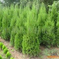 2011年春低价大量出售1-1.5米高河南桧柏树苗