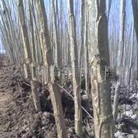2011年春低价出售3公分杨树苗