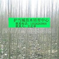 2011年春低价出售2.5公分杨树苗