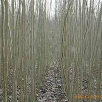 2010年冬低价大量供应3米高的杨树苗