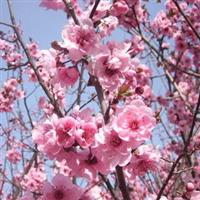供应美人梅树苗绿化苗木规格齐全重瓣美人梅