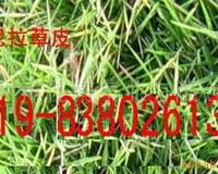 供应马尼拉草坪/马尼拉草坪