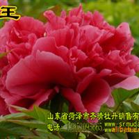 牡丹花,牡丹树,牡丹苗,牡丹切花,牡丹催花,芍药切花,芍药苗