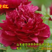 牡丹树,牡丹苗,牡丹盆栽,牡丹干花,牡丹催花,牡丹切花,芍药