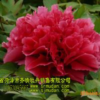 牡丹盆栽,牡丹催花,牡丹干花,牡丹树,牡丹切花,芍药苗,