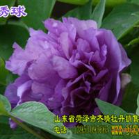 牡丹树,牡丹花,牡丹切花,牡丹催花,芍药籽,芍药苗,芍药切花