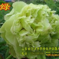 牡丹树,牡丹苗,牡丹盆栽,牡丹切花,牡丹催花,芍药