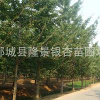 米径3-40公分的银杏嫁接树待售