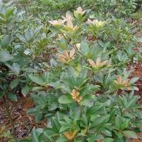 出售绿化苗木厚皮香,稀有品种