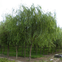 出售垂柳,金丝垂柳,树形优美,主干光滑而直,欢迎选购