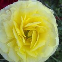 花毛茛种球保安花卉基地