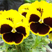 大量出售三色堇青州保安花卉基地