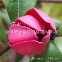 批发基地价四季杜鹃花花开不败中国十大名花之一庭院家居美化