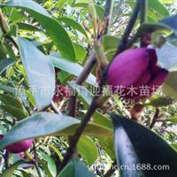 白天鹅洁白无瑕品种保证假一赔十15个品种盆栽植物
