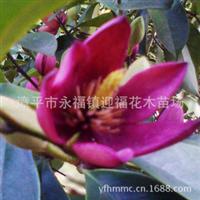 新品种墨紫红含笑植物界的喜讯珍稀品种浓香花卉香蕉花