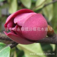 紫红含笑珍稀含笑品种红含笑喻义大红大紫数量有限家居花卉
