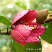 双面红花含笑叶片呈芭蕉形花色纯红珍稀含笑品种家居花卉