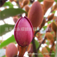 四季紫花含笑红含笑花卉苗木推广品种家居庭院植物浓香花卉