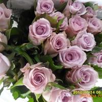 鲜花批发、云南昆明优质玫瑰-----海洋之歌(紫色玫瑰)