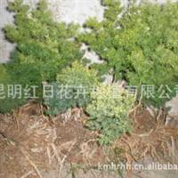 销售大量云南优质蓬莱松苗、批发大量红日蓬莱松苗
