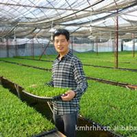 常年供应蓬莱松种苗选昆明红日值得信赖