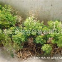 蓬莱松苗,红日批发大量优质蓬莱松苗