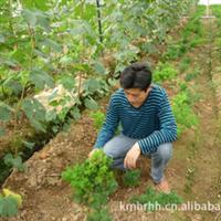 蓬莱松种植生产销售,优质小苗,大苗!