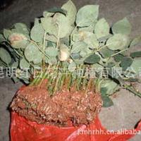 供应2013年大量优质种苗,批发红日优质玫瑰苗--红玫(卡罗拉)