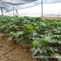 云南花卉种子种苗,出售大量优质:绿化苗,如八角金盘,蓬莱松。