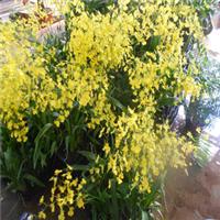 剪切黄色跳舞兰,又名文心兰,花朵色彩鲜艳