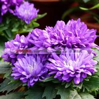 各色国庆翠菊种子120元1斤