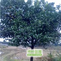 供应优质香泡等乔木/绿化苗木/香泡树/量大从优【博粹苗圃场】