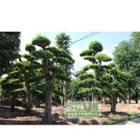 湖南苗圃销售造型榆树/形态好/品种齐全【博粹苗圃场】