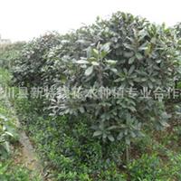 中华石楠供应1-15公分。P20-300CM的中华石楠。石楠