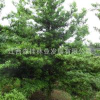 长期大量供应罗汉松造型罗汉松原生罗汉松园林植物罗汉松
