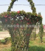 供应园艺植物造型海棠花篮造型量大优惠