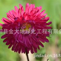 各种菊花种子齐全矢车菊种子批发