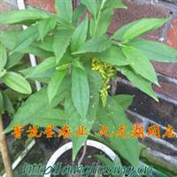野生中草药材黄花倒水莲倒吊远志根带带黄花植物种苗福建