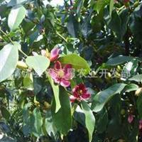 紫花含笑紫红苗香蕉花深山野生盆栽庭院植物浓香花卉亚热带
