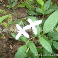 野生铁线莲威灵仙野果根福建三明中国原生树桩小苗植物